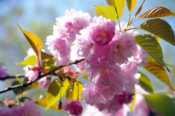13.4.14_八重桜2.JPG