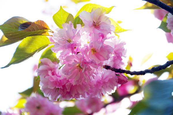 13.4.14_八重桜3.JPG