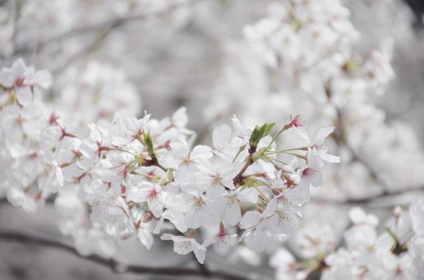 140530_目黒川桜1.JPG