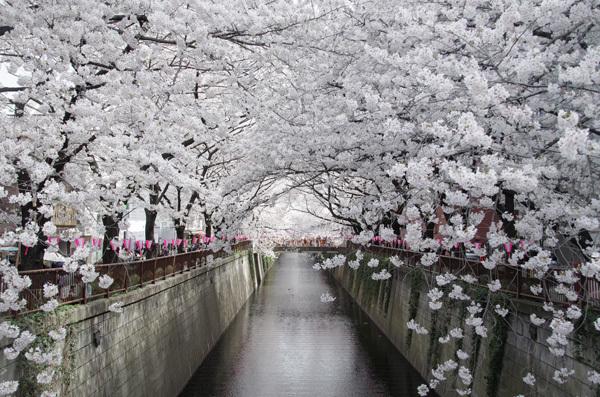 140530_目黒川桜3.JPG
