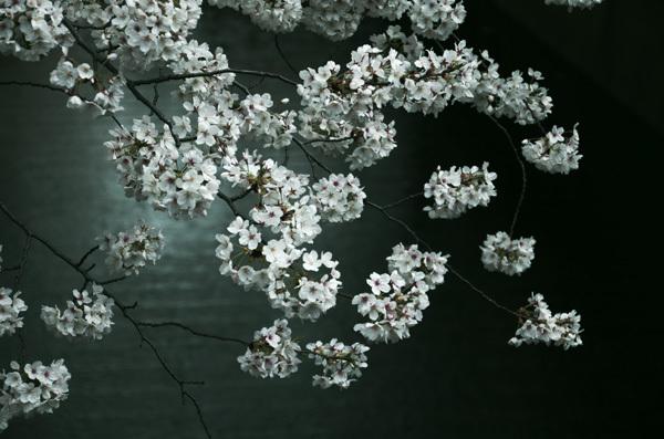 140530_目黒川桜4.JPG