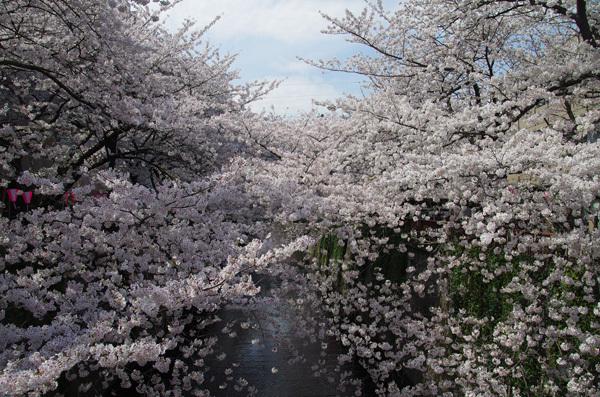 140530_目黒川桜7.JPG