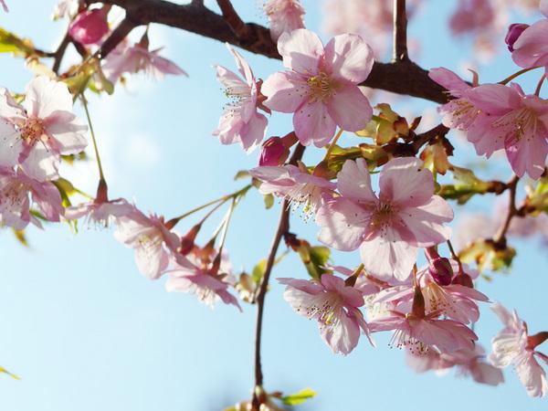 150405_桜4.JPG