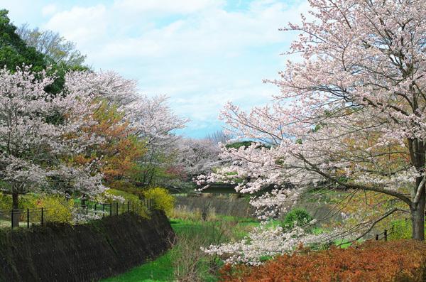 150409_桜12.JPG