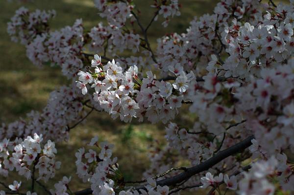 150409_桜13.JPG