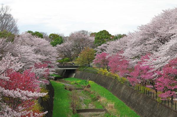150409_桜9.JPG