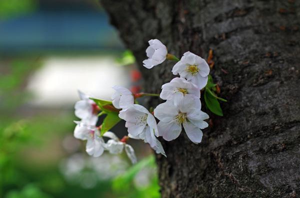 150415_桜16.JPG