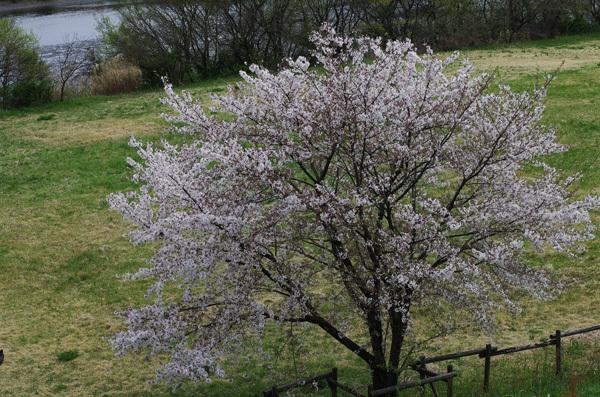 150415_桜17.JPG
