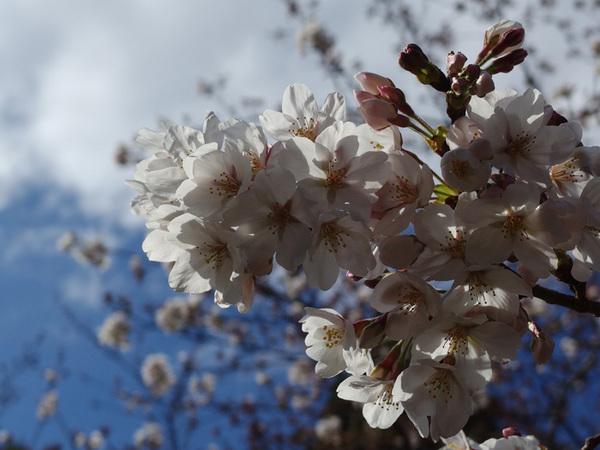 160331_桜色々1.jpg