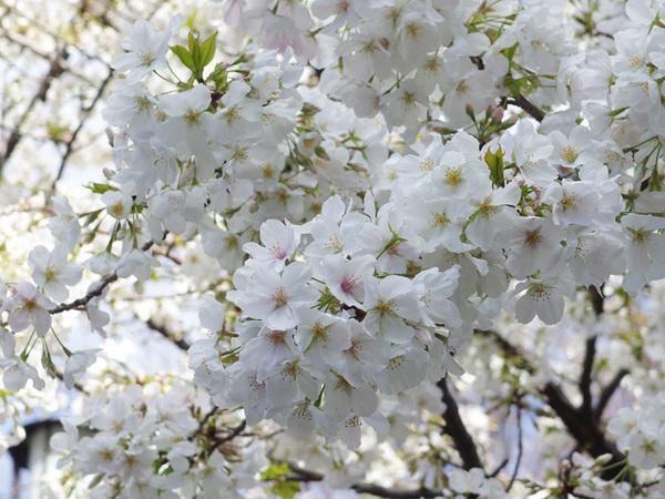 160331_桜色々3.jpg