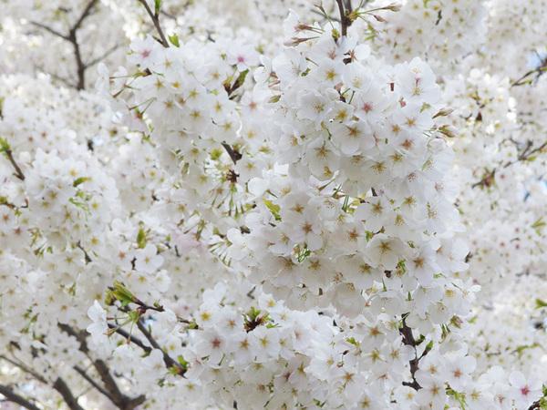 160331_桜色々6.jpg