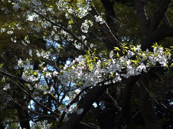160331_桜色々8.jpg