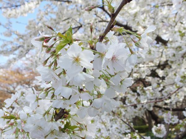 160331_桜色々9.jpg