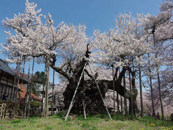 160409_神代桜1.jpg