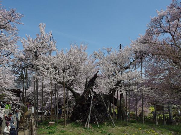 160409_神代桜2.jpg