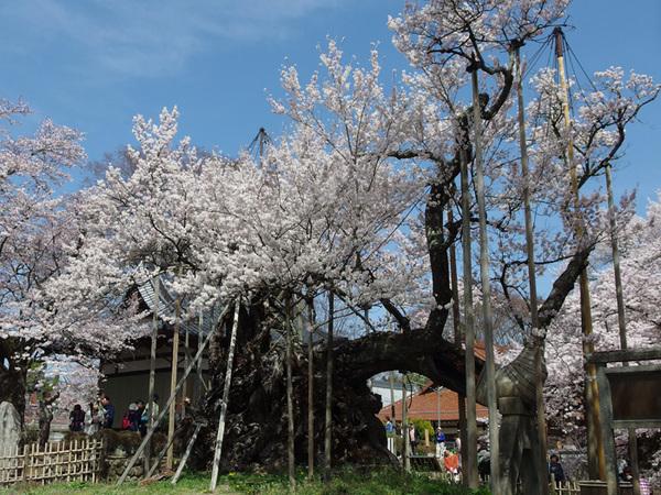 160409_神代桜3.jpg