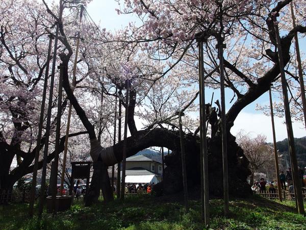 160409_神代桜4.jpg
