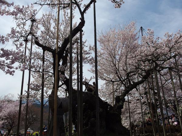 160409_神代桜5.jpg