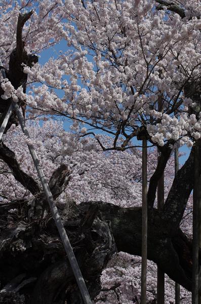160410_神代桜2.jpg