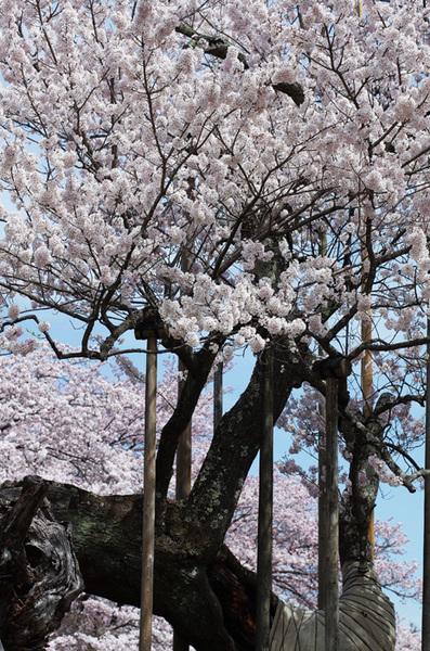 160410_神代桜6.jpg