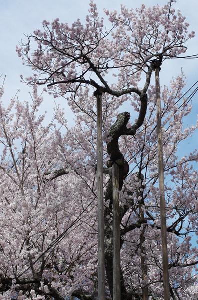 160410_神代桜7.jpg