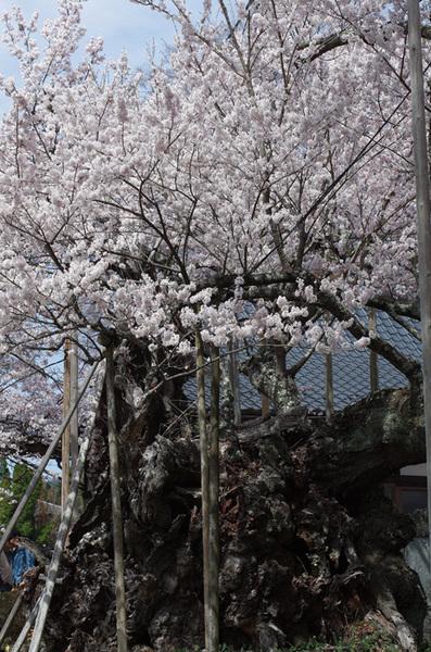 160410_神代桜8.jpg