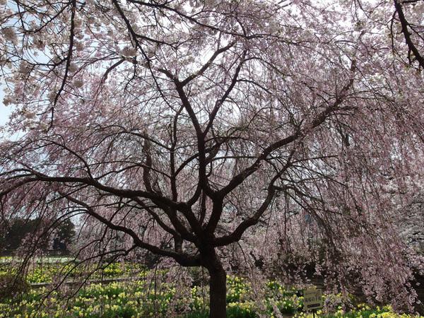 160411_滝桜子桜.jpg