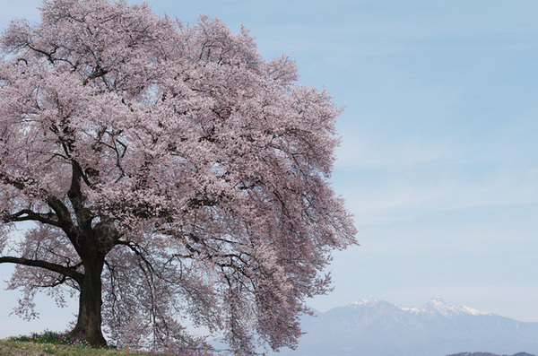 160412_わに塚のサクラ5.jpg