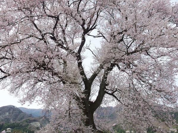 160412_わに塚のサクラ6.jpg