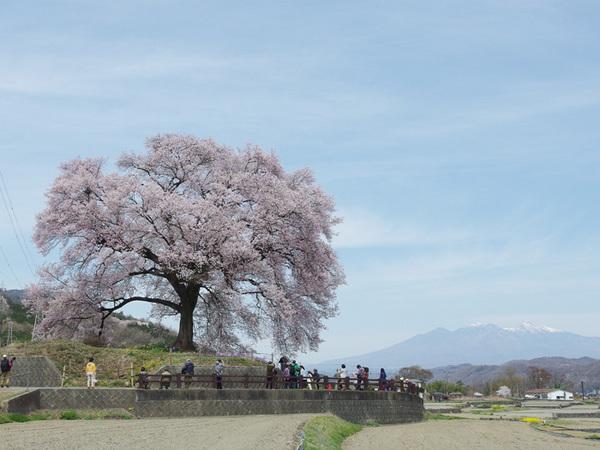 160412_わに塚のサクラ7.jpg