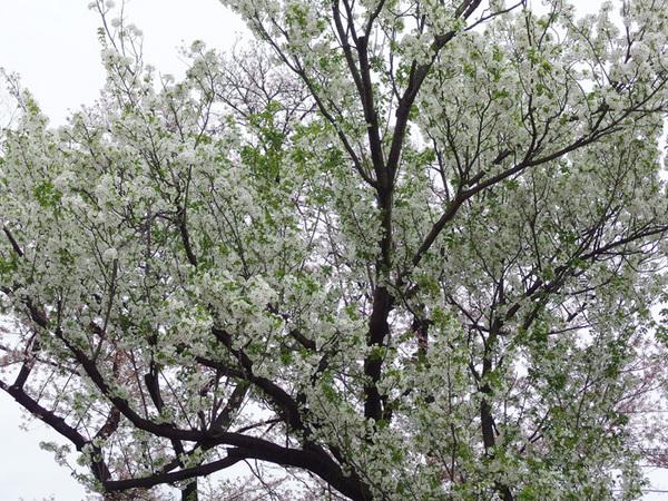 160414_大島桜.jpg