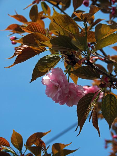 2012.4.19桜4.jpg
