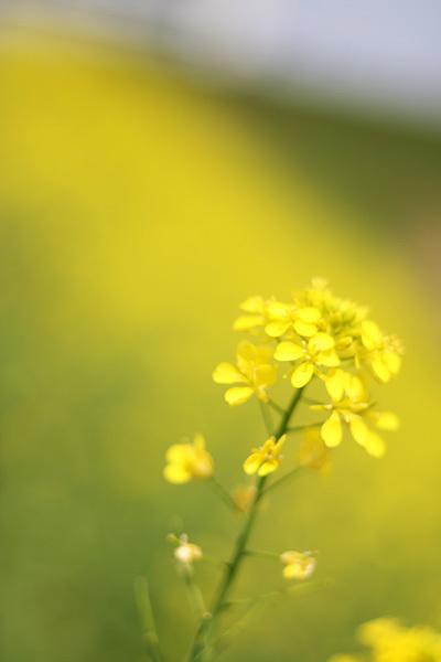 2012.4.25セイヨウカラシナ.jpg