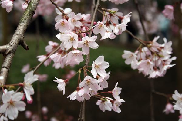 六義園しだれ桜1.jpg