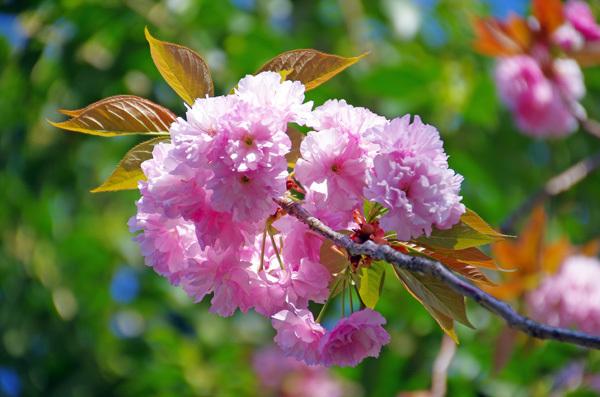 13.4.14_八重桜4.JPG