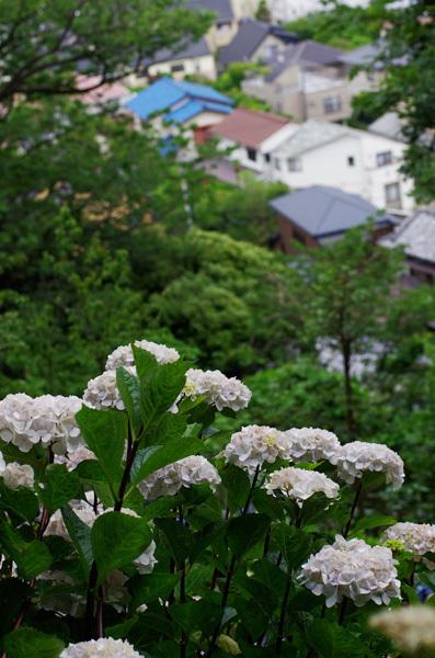 130719_長谷寺アジサイ8.jpg