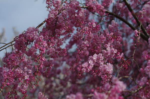 150413_枝垂桜.JPG