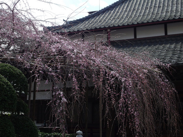 160321_枝垂桜.jpg