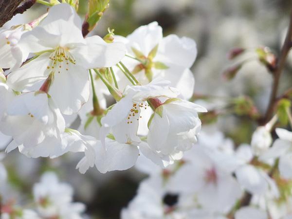 160331_桜色々10.jpg