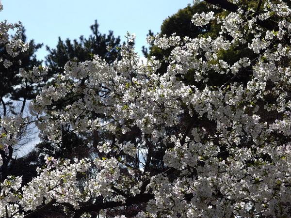 160331_桜色々5.jpg