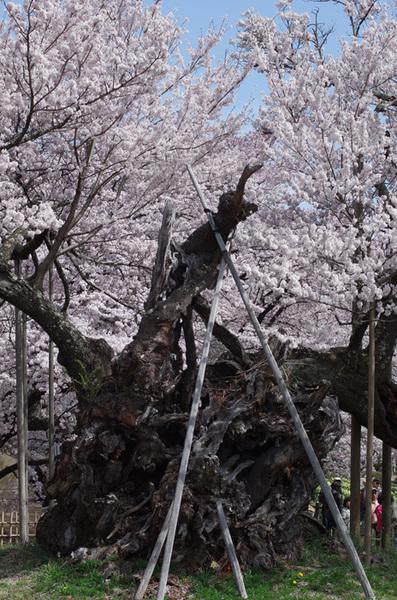 160410_神代桜1.jpg