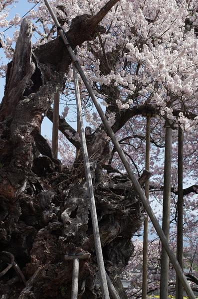 160410_神代桜5.jpg