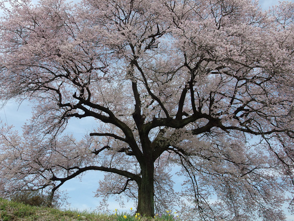 160412_わに塚のサクラ3.jpg