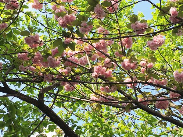 160423_八重桜.jpg