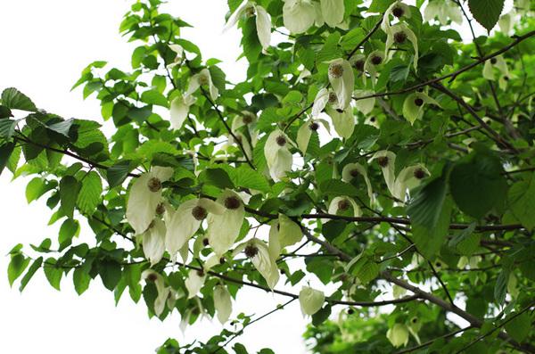 160511_5ハンカチの木.jpg