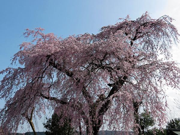 2012.4.14枝垂桜1.jpg