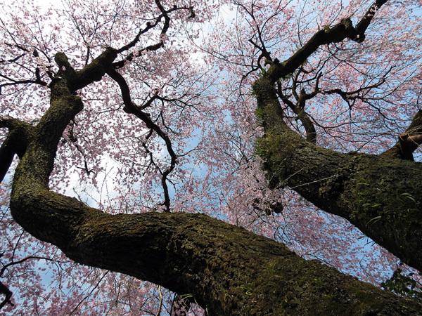 2012.4.14枝垂桜2.jpg