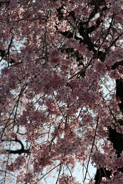 2012.4.14枝垂桜3.jpg