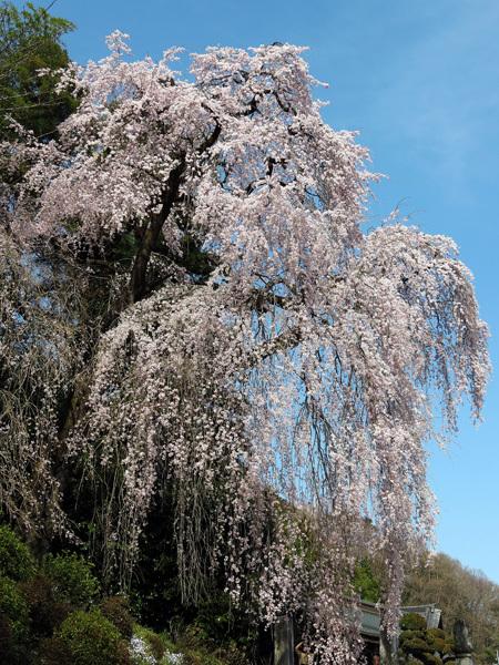 2012.4.14枝垂桜5.jpg
