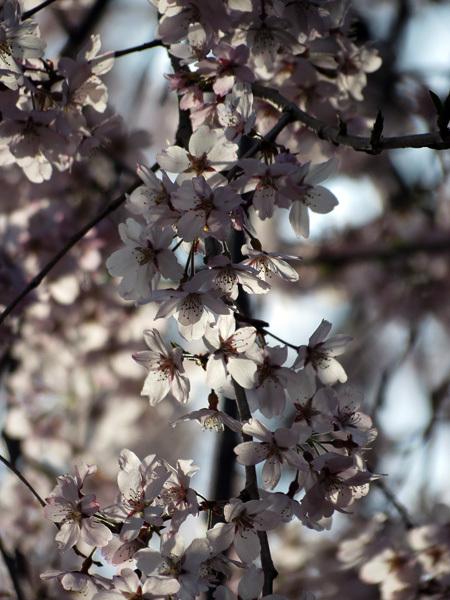 2012.4.14枝垂桜6.jpg